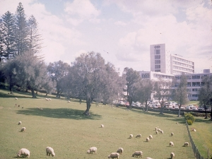 Sheep in Cornwall Park