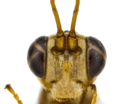 Photograph of the head of the Malfoy wasp